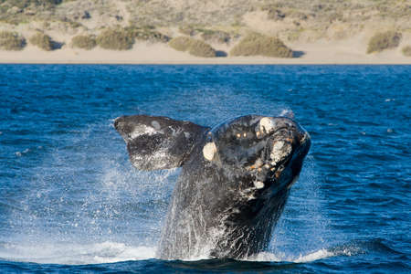 southern: A Right Whale in Peninsula Valdes, Argentina.