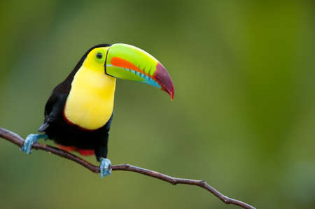 honduras: Keel Billed Toucan, from Central America. Stock Photo