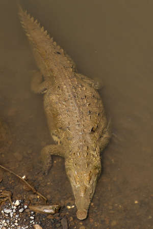 American crocodile swimming, view from above. photo