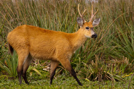 Marsh Deer (Blastocerus dichotomus) Stock Photo
