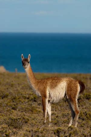 Guanaco (Lama Guanicoe) in Patagonia Stock Photo - 7912866