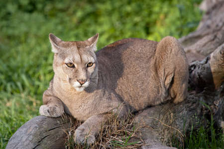 cougar: Puma or Cougar in Patagonia  - Puma concolor