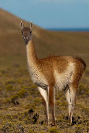 guanaco: Guanaco (Lama Guanicoe) in Patagonia Stock Photo