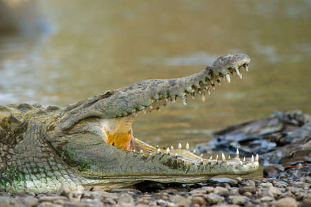American crocodiles, view from above. photo