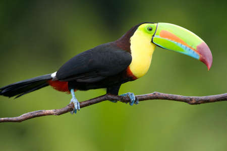 rain forest animal: Keel Billed Toucan, from Central America. Stock Photo