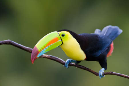 Keel Billed Toucan, from Central America. Stock fotó