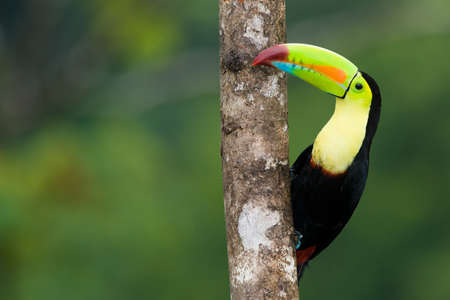 Keel Billed Toucan, from Central America. Stock Photo