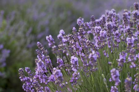 lavanda: Bunch of scented flowers in the lavanda fields