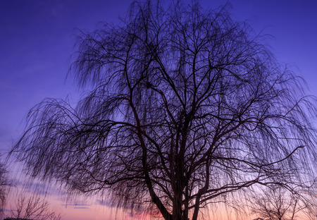 silhouette of tree,weeping willow after sunset Stock Photo