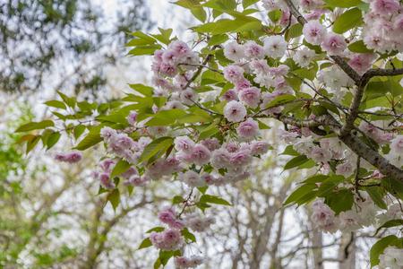 Beautiful gentle colors of Cherry blossom. Sakura. Prunus serrulata.