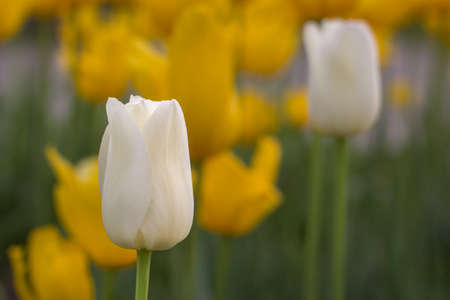 Bright colorful white Tulip blossoms in spring. Blurred background Stock Photo