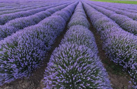 Mooi landschap van lavendelvelden Stockfoto