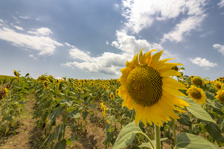 sunflower field over cloudy blue sky and big sunflower