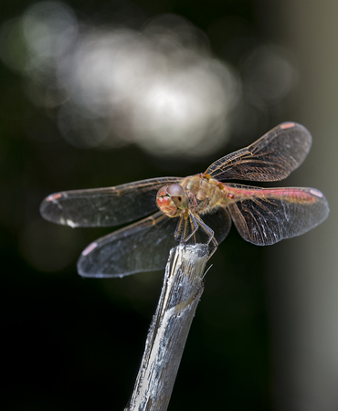Beautiful nature scene with dragonfly Keeled skimmer (Orthetrum coerulescens)