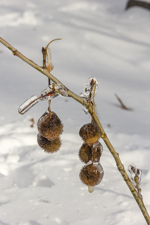 Beautiful frozen plant. Frozen after ice storm, close up. Ice coated plant.