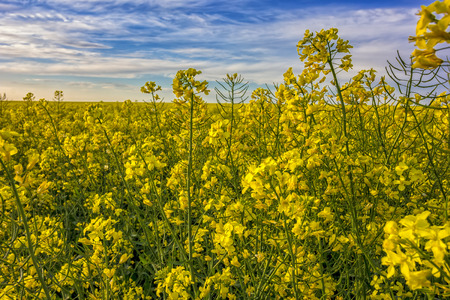 Field of bright yellow rapeseed and beauty sky in spring. Brassica napus. Close