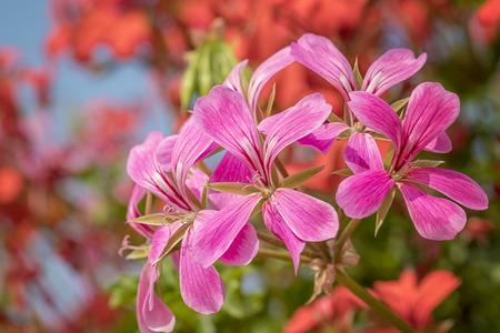 Closeup of a pink flowering cascading geranium or Pelargonium peltatum plant on a sunny day.