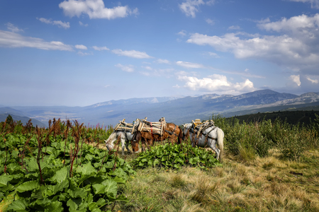 Scenic view cargo horses eating grass at a mountain meadow