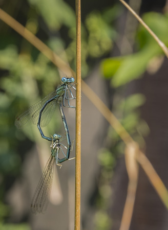Dragonfly, male and female during the breeding season. Make love Banco de Imagens