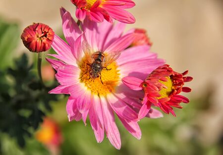 Springtime. Colorful close-up of a honey bee pollinating a bright red flower.