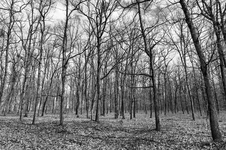 Autumn forest with trees without leaves, black and white photo