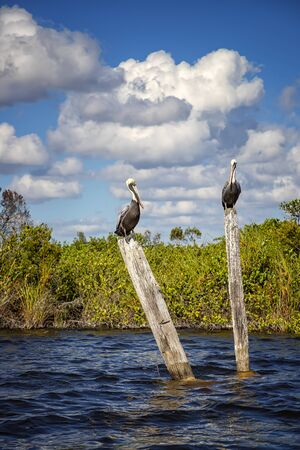 Wild pelicans standing on wooden logs in the river. Vertical view