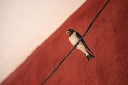 Alone swallow bird sitting on a wire at red background. Close up Reklamní fotografie