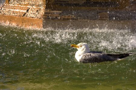 Beautiful seagull bird floats in the fountain with water spraying
