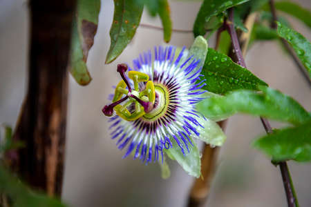 A close up of the passion flower after rain, a special flower that blooms for a few days. Passiflora