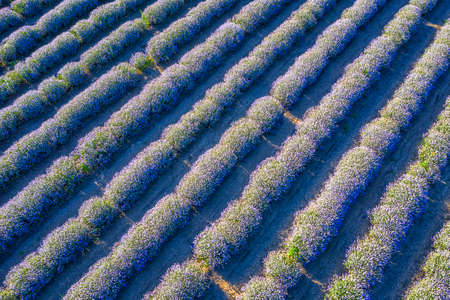 Beauty landscape of blooming lavender rows. Aerial view from drone. Nature background
