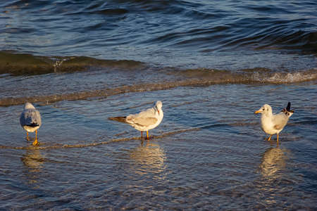 Seagulls standing in the water on sea shore. 版權商用圖片