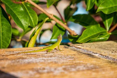 beautiful green lizard in the garden