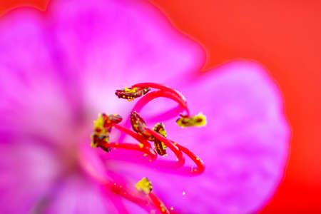 Beautiful red geranium with stamens. Macro shot. Horizontal view