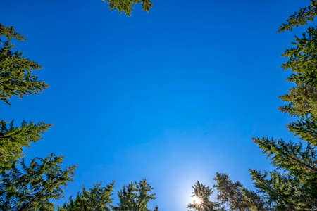 looking up to tall pines with clear blue sky and sun. Horizontal view