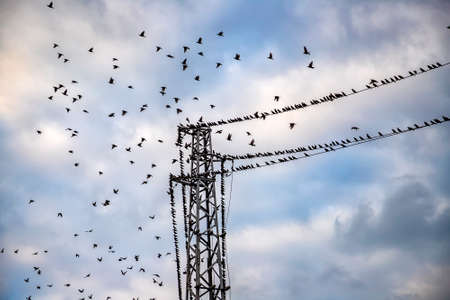 A flock of birds flying at power line cable. View up, horizontal. 版權商用圖片