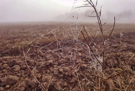 Beauty cobweb with raindrops on a plant in the field. Weather with fog