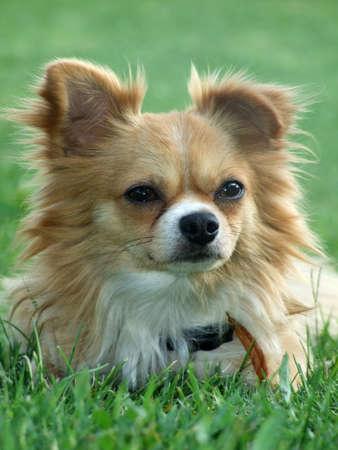 long hair chihuahua: dog