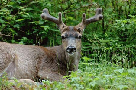 cud: Blacktail Deer Chewing Cud sitting down on a ridge Stock Photo