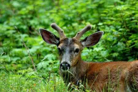 Blacktail Deer juvenile spiker sitting down on a ridge
