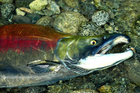Stranded male Sockeye salmon in the upper Pitt River gasping for breath Stock Photo