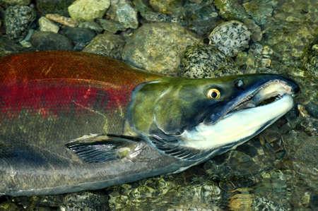 Stranded male Sockeye salmon in the upper Pitt River Stock Photo