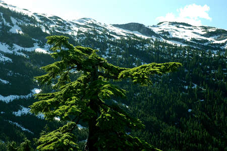 Lone tree against a valley in the North Vancouver Conservation area Stock Photo