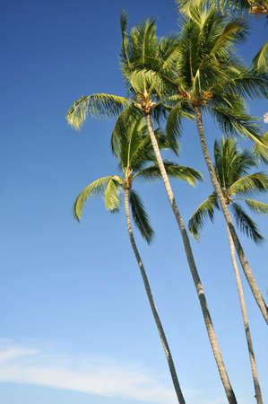 Stelling van palm bomen tegen een blauwe hemel op een strand van Mexico Stockfoto