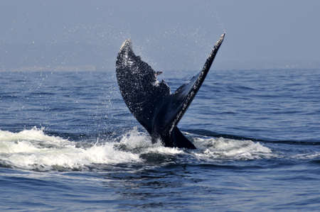 Humpback whale tail in the tropical waters off the west coast of Mexico Stock Photo