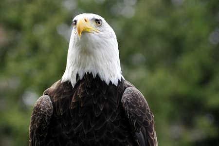 Majestic Bald eagle facing camera
