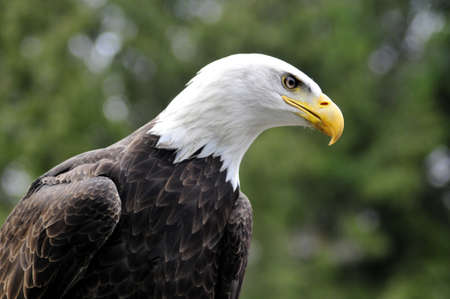 Majestic Bald eagle looking for prey