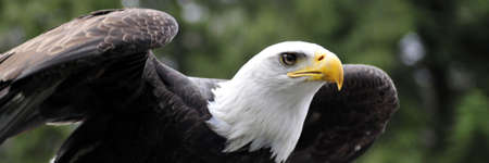 Majestic Bald eagle readying for flight Stock Photo
