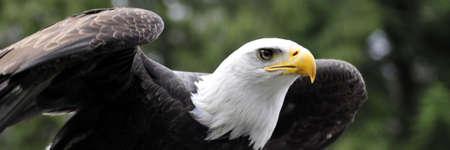 Majestic Bald eagle readying for flight Zdjęcie Seryjne