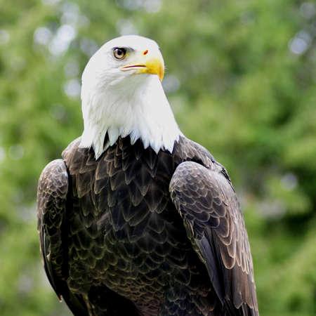 Majestic Bald eagle on perch - square shot
