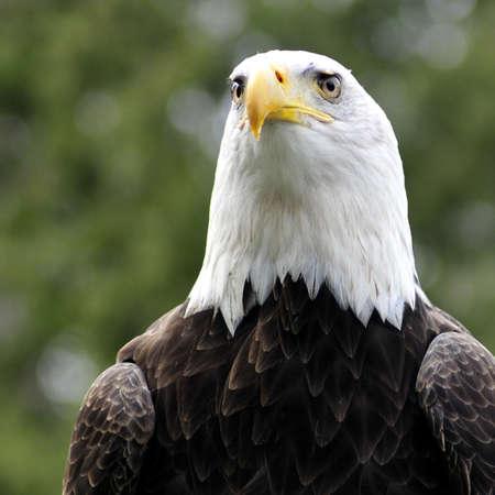 Majestic Bald eagle facing camera - square portrait